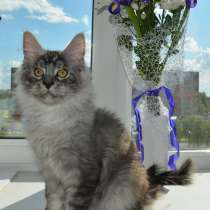 Свободны шикарные котята мэйн-кун редких окрасов, в Ярославле