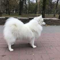 Японский шпиц собака, в Ростове-на-Дону