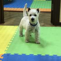 West Highland White Terrier, в г.Днепропетровск
