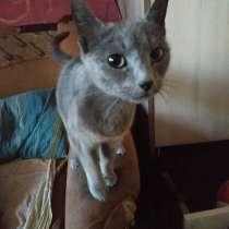 Русская голубая кошка, в г.Бельцы