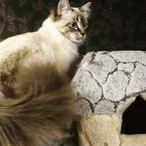 Кот невский маскарадный (вязка), в г.Енакиево