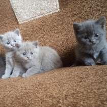 Котята британские, в Омске