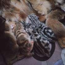 Высокопородные шотландские котята, в Магнитогорске