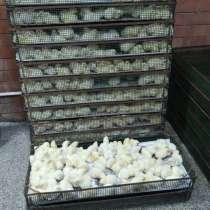 Цыплята бройлерные Арбор Акрис (Кобб 700), в Тольятти