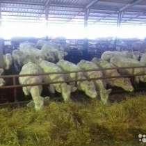 Продаем говядину мясной породы Шароле, в Калининграде