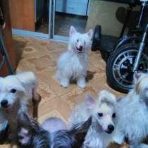 Китайские хохлатые собачки пуховые, в Сарапуле