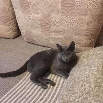 Русский голубой кот для спаривания, в г.Таллин