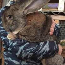 Кролики Гиганты Немецкий, Бельгийский Великан, в Брянске