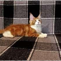 Котенок - кошечка - мейн-кун, 3,5 мес, в Новосибирске