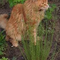 Котик на вязку Мейн-кун, в Дмитрове