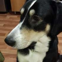 Крупная, молодая и воспитанная собака для загородного дома, в Санкт-Петербурге