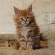 Кошечка Мейн Кун U4 (Услада), красный мрамор, в Железнодорожном