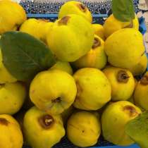 Продам плоды домашней айвы, в г.Луганск