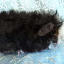 Мальчики альпака-морские свинки, в Уфе
