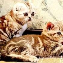 Шотландские котята, в Казани
