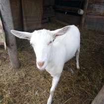 Продается коза, в Коркино