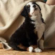 Продам щенка бернского зенненхунда, в г.Минск