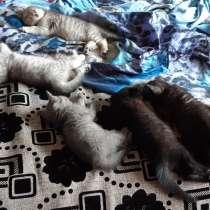 Британские котята, в Березниках