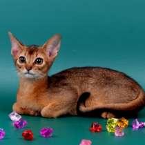 Абиссинские котики дикого окраса, в Москве