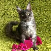 Котята Мейн-кун из питомника, в Туле
