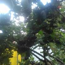 Рябина черноплодная, плоды, в Саратове