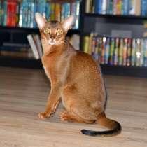 Абиссинский кот на вязку, в Нижнем Новгороде