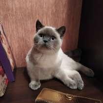 Шотландский котик, в Москве