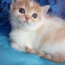 Продам котят породы Шотландская страйт и фолд, в г.Черкассы