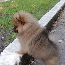 Продаются щенки померанского шпица, в г.Кагул