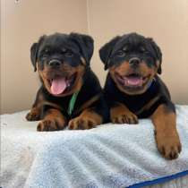 Puppy boy Rottweiler 03.10.2020, в г.Рига
