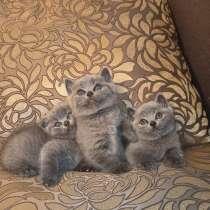 Шотландские котята, в г.Бендеры