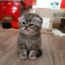 Шотландские вислаухие котята, в г.Могилёв