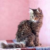Котята Мейн Кун, девочки, в Рязани