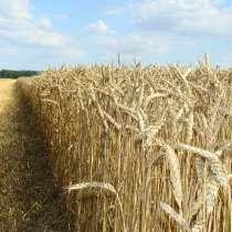 Семена пшеницы Антонина, Сила, Таня, Гурт, Баграт, в Гулькевичах