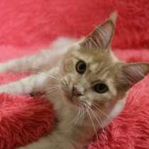 Кошечка Мейн-кун, в г.Гдыня