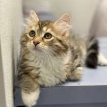 Siberian cat for sale, в г.Бруклин