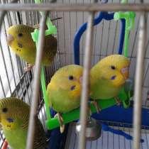 Волнистые попугаи, в Жигулевске