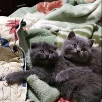 Шотландские котята, в г.Лисичанск