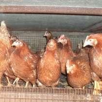 Птица разных пород(утки, гуси, куры, индюки), в Арзамасе