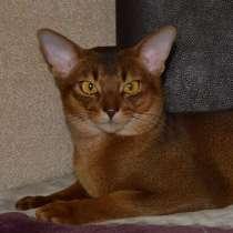 Абисснский кот, в г.Минск