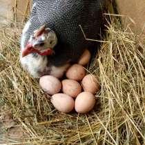 Инкубационное яйцо цесарки, в Марксе