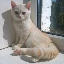 Котёнок шотландский, скоттиш-страйт, РЕДКОГО ОКРАСА, в г.Брест