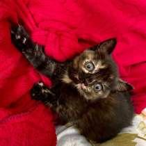 Кошечка от британской кошки, в Новошахтинске