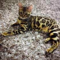 Бенгальский кот, в Омске