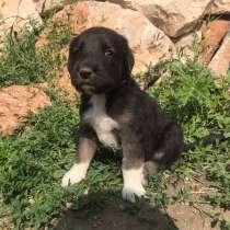 Продам щенков Тобет, в г.Актобе