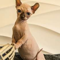 Sphynx девочка двэльф baby-doll type dwelf female kitten, в Москве