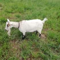 Альпийская коза, в Клине