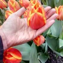 Тюльпаны оптом, в Краснодаре