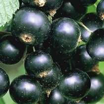 Чёрная смородина десертных сортов, в Миассе