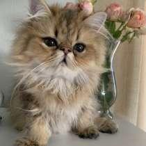 Котята персы шиншилловых окрасов, в г.Хайфа